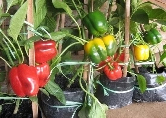 Cara Mudah Menanam Cabai Paprika Dalam Pot