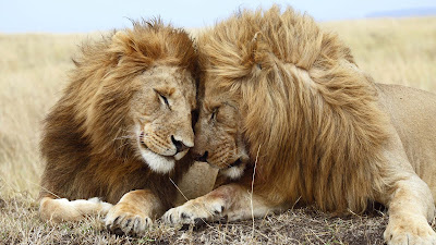 Romantic-images-for-real-cute-Lion-Couples