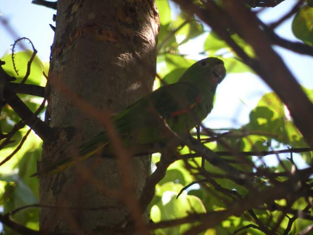 Papuga w Miami