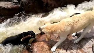 Cane eroe salva il suo amico che stava annegando nel fiume - Video