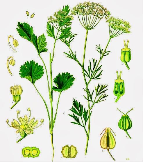 Plantas Aromáticas anis