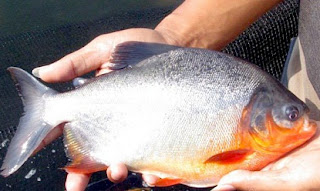 Resep Umpan Mancing Ikan Bawal Harian, umpan mancing ikan bawal malam hari,