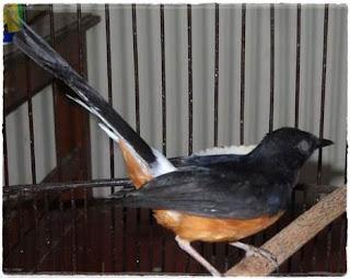 mengobati sakit mata pada burung murai batu (katarak)
