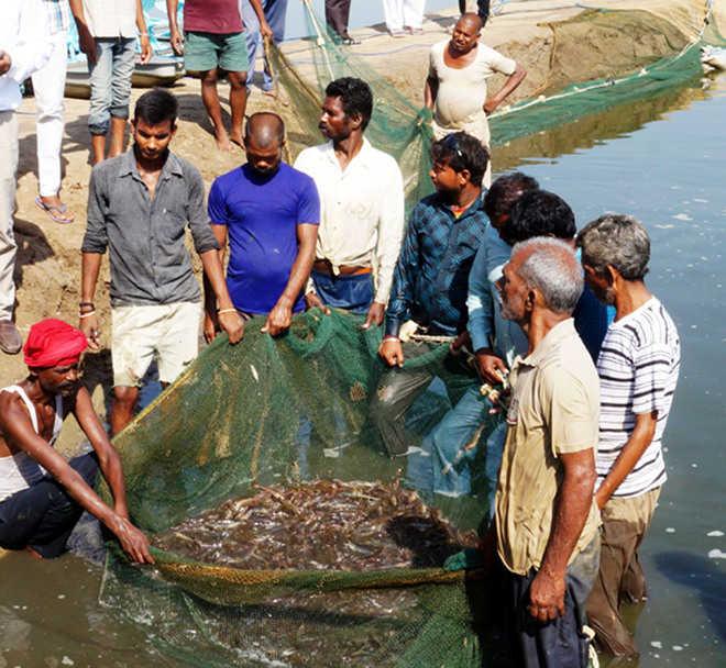 Shrimp farmers net fortune in 4 months - MalwaTimes Online