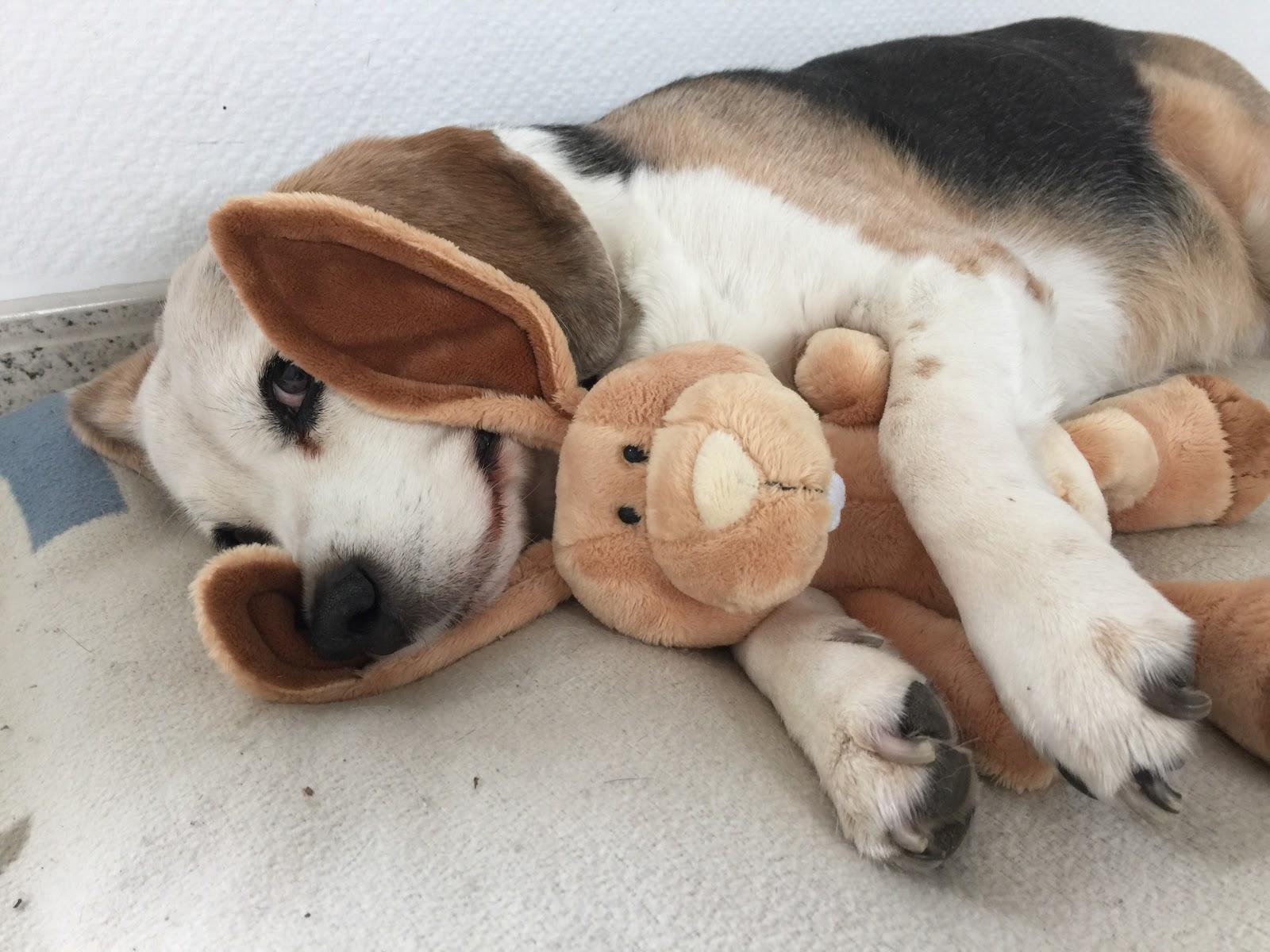 beagle tibi 39 s leben fotos und geschichten wie viel zeit hat der osterhase noch. Black Bedroom Furniture Sets. Home Design Ideas