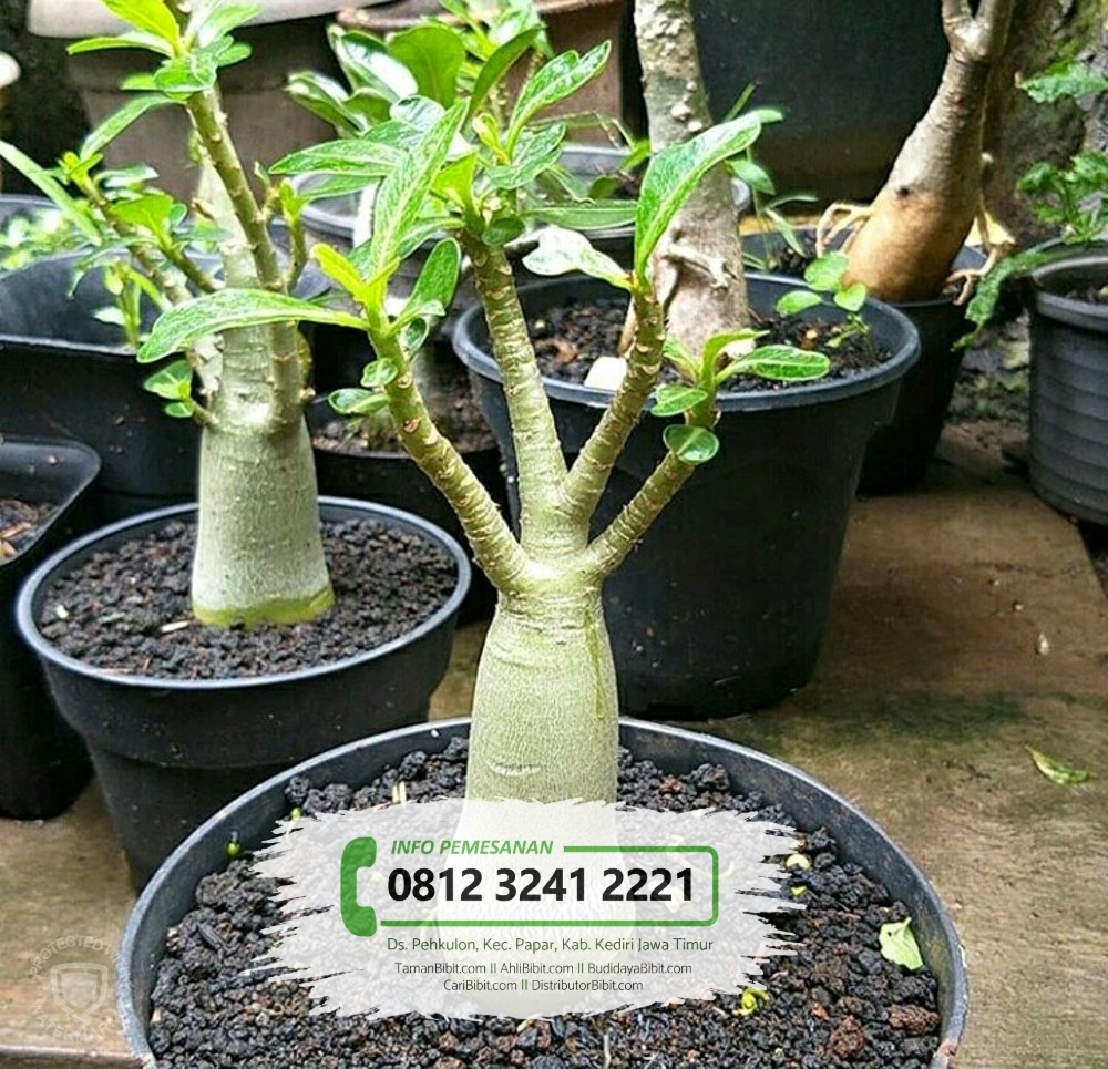 Jual Bibit Pohon Kamboja