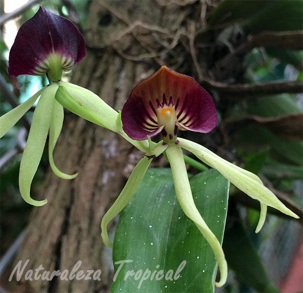 Pareja de Orquídeas Negra, Prothechea cochleata