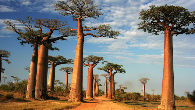 Stand of baobab trees