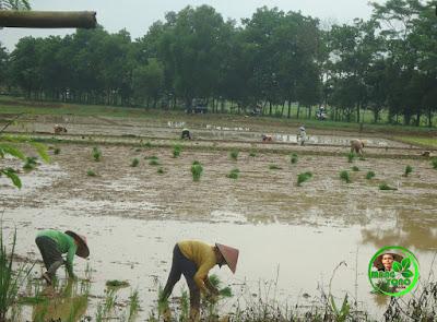 Hari Senin 16 Mei 2016 mulai tanam padi di Tegalsungsang, Pagaden Barat, Subang