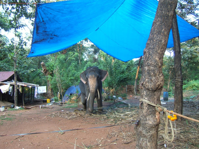слон на привязи