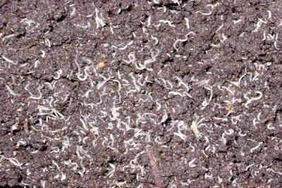Pobladores del suelo: enchytraeidae