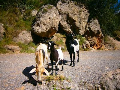 Cabras en la Serra d'Espadà. Autor: Miguel Alejandro Castillo Moya