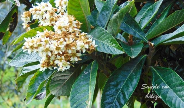Benefícios e propriedades das folhas de nespereira