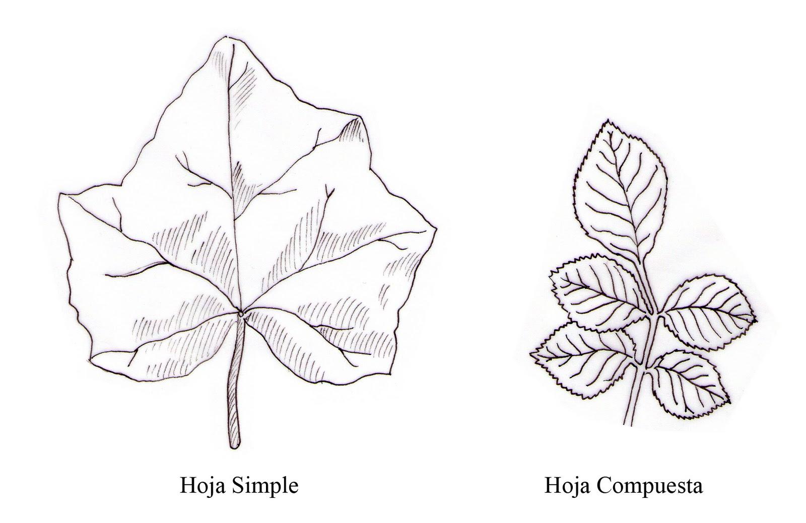 Dibujo Para Colorear Hoja: Mi Naturalismo: Un Poco De Botánica Para Todos