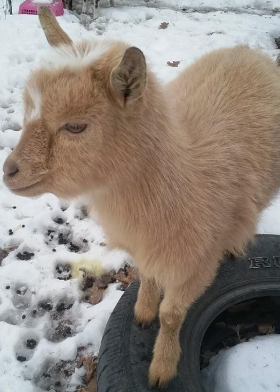 missing nigerian dwarf goat wisconsin