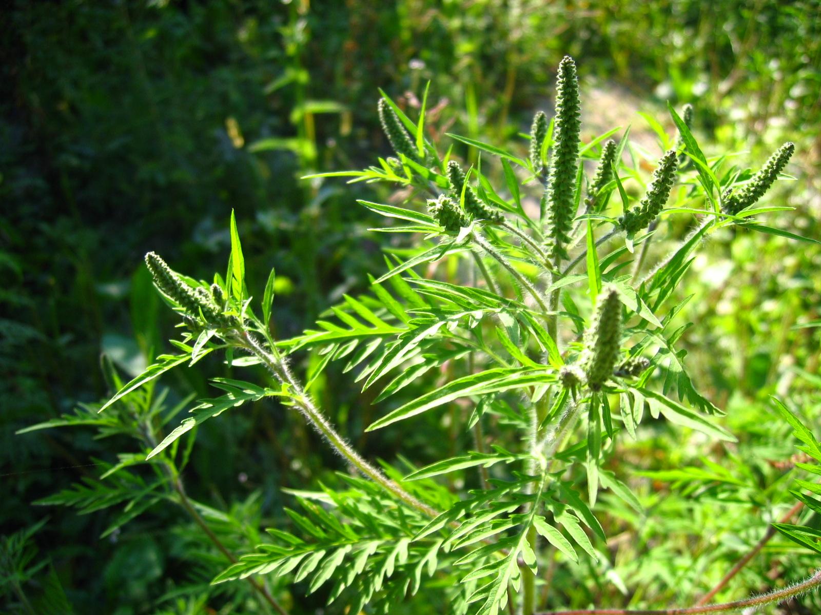 травы от аллергии на глазах