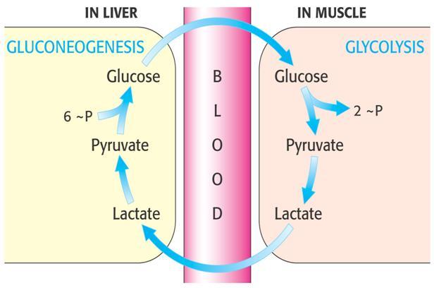 Medicine Newbie: Cori Cycle