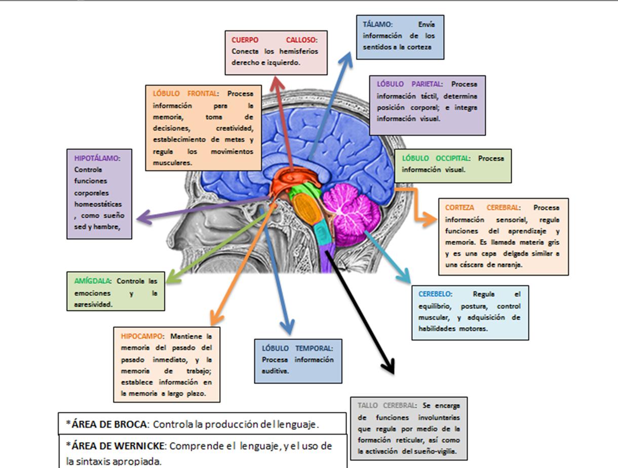 Neurociencias : ATLAS