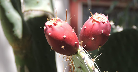 The Wondrous Prickly Pear Cactus