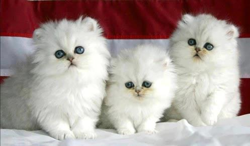 3 Gatitos blancos