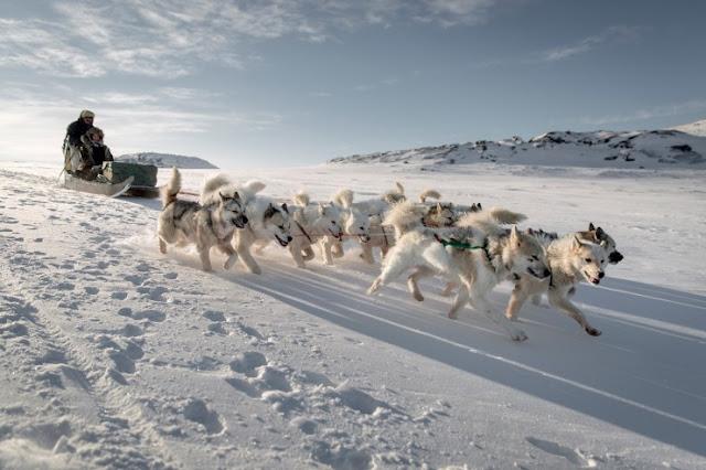 Pergi Dogsledding di Greenland