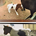 Potter County Sheriff's Office looking for stolen dwarf paint horse