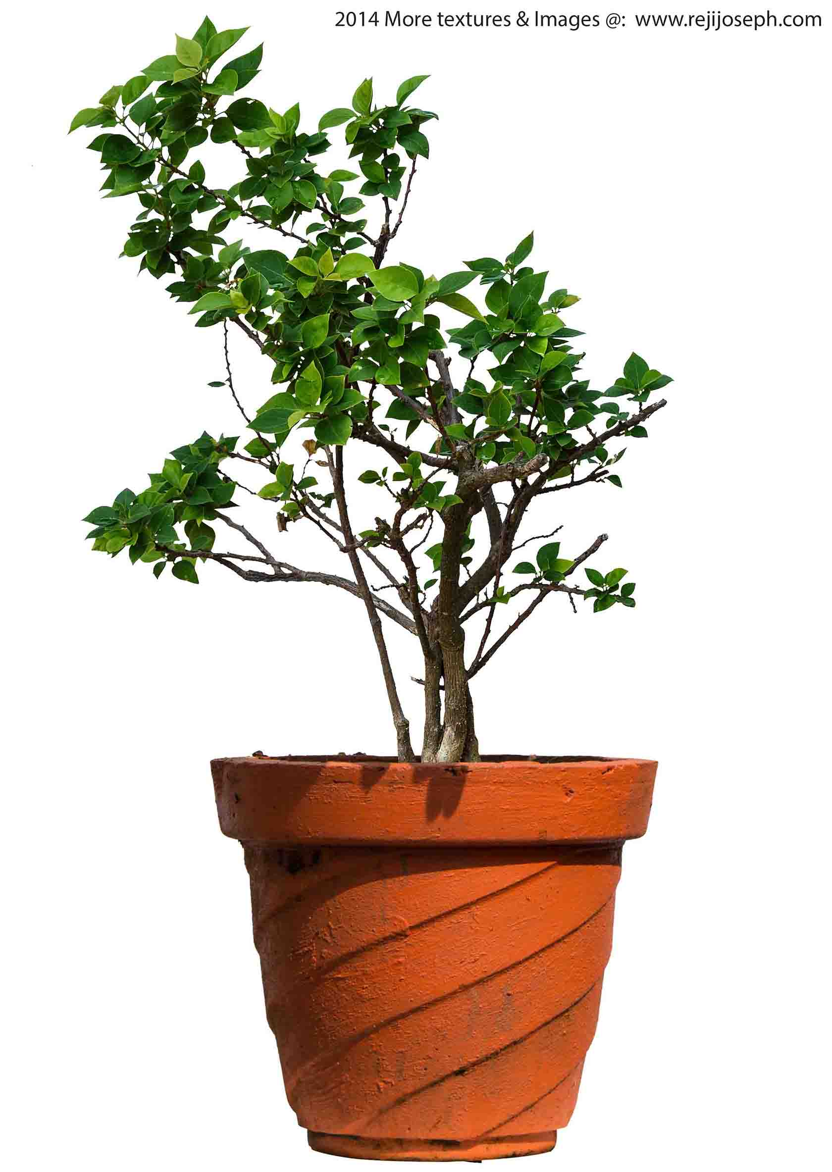 Bougainvillea Garden Plant Texture 00005
