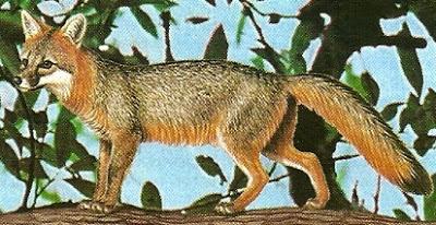Dibujo de un zorro a color