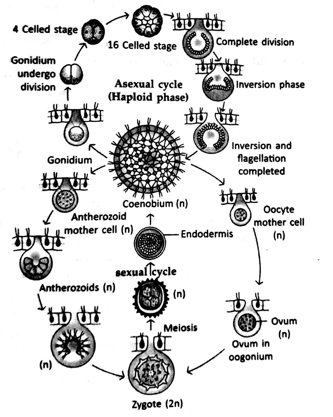 fig 2 life cycle of volvox [ 1276 x 1600 Pixel ]