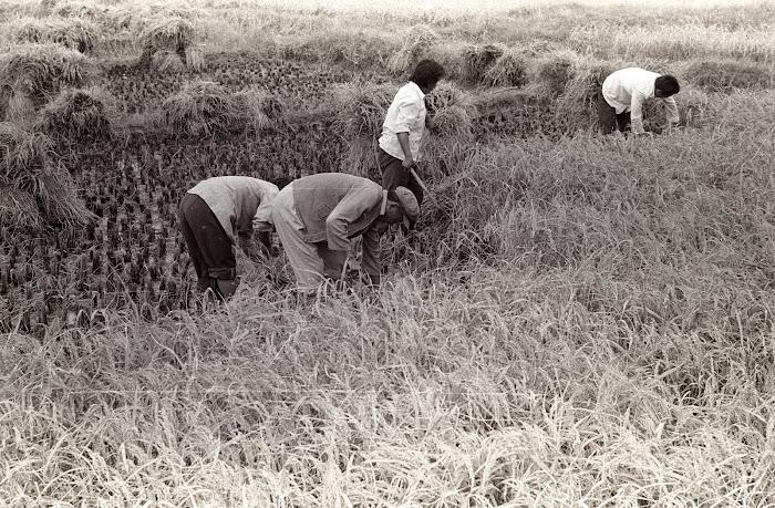 Jinan, Queshandongcun, moissons, riz, © L. Gigout, 1990