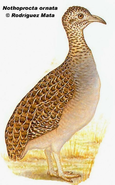 tinamou birds