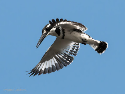 Early morning Pied King Fisher - Woodbridge Island 03