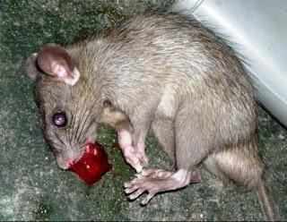 Tikus Reservoir Utama Leptospirosis