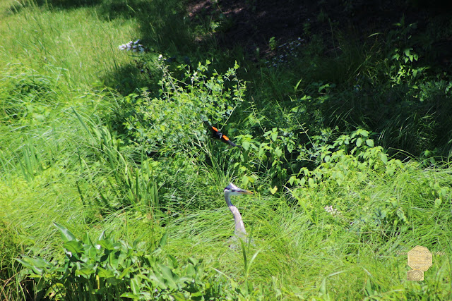 Annoyed - Heron And Red Winged Blackbird 6 Of 10