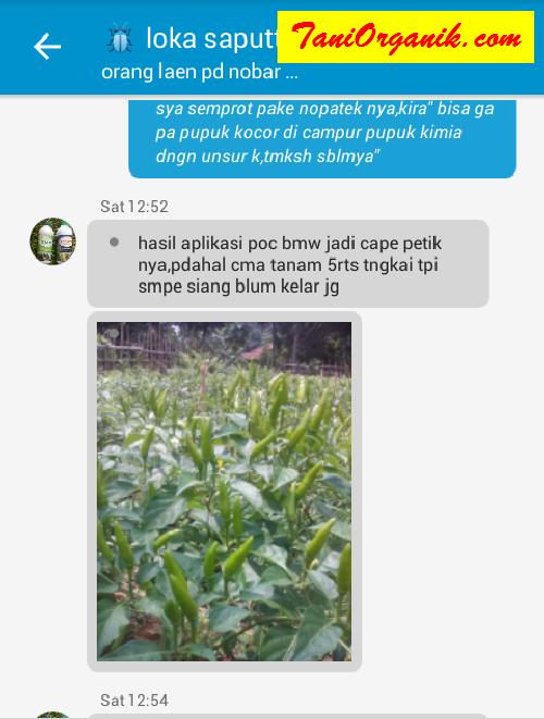 Hanya Populasi 500 Pohon Cabai Saja, Sampai Capek Metik (Bapak Iwan, Purwakarta, 2016)
