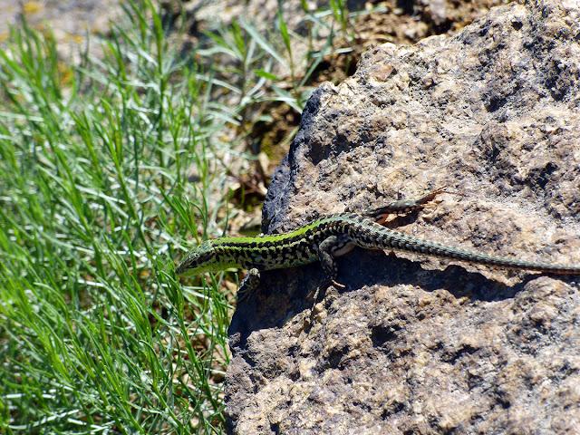 Reptile din Muntii Macinului - Soparla de stepa (Podarcis tauricus)