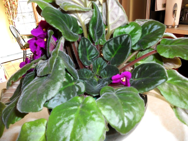A crowded African violet plant