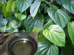 Mengenai manfaat daun sirih yang bisa dipergunakan sebagai  Khasiat daun sirih untuk obat herbal keputihan