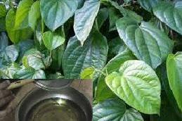Khasiat daun sirih untuk obat herbal keputihan