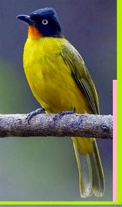 Burung Kutilang Emas Yang Memiliki Tubuh Dan Waarna Yang Menarik