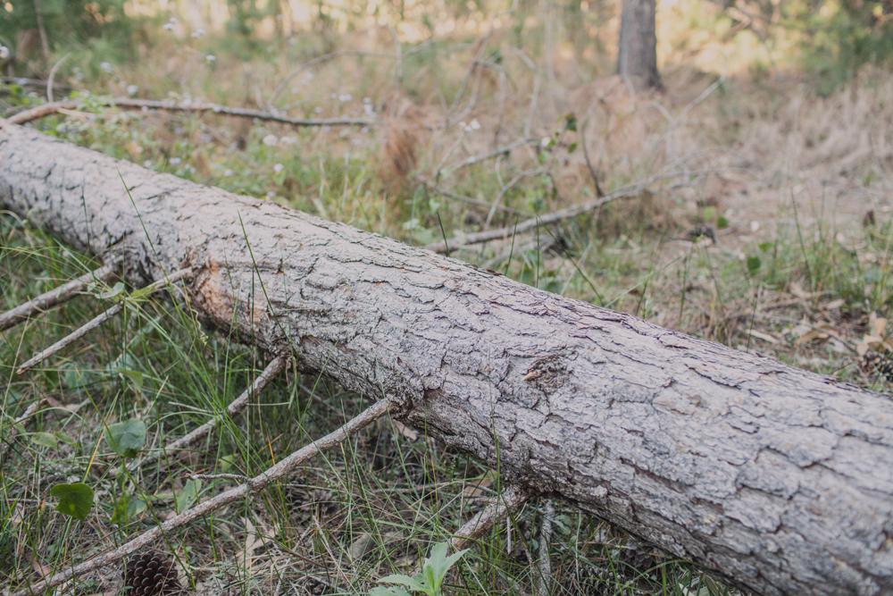australian forest timber