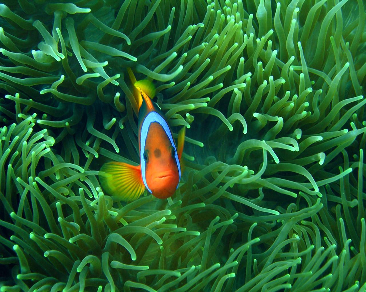 Clown Fish Animals Library