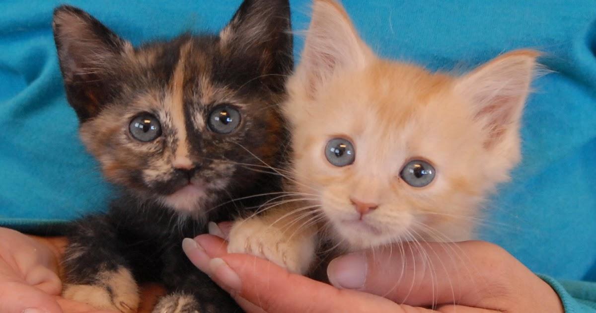 nevada spca animal rescue the gilligan s island kittens