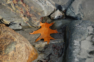 Autumn leaf on a rocky beach at Long Sands in York, Maine by Aina Clothing