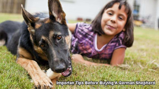 Important Tips Before Buying A German Shepherd