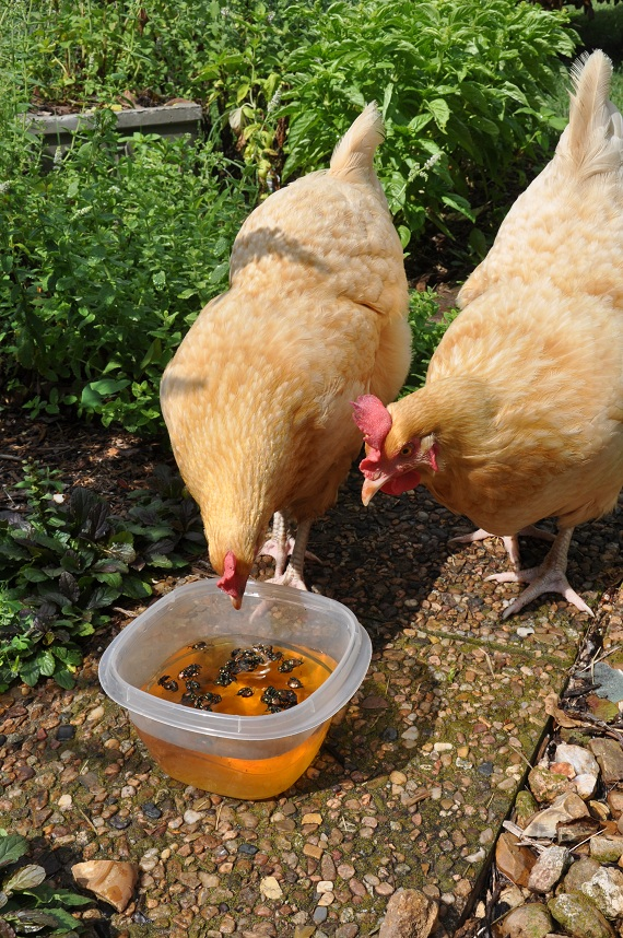 Gardening with Chickens - Part 1 - Why Chickens?   Community