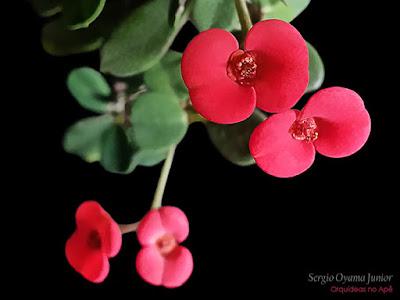 Coroa de Cristo - Euphorbia millii