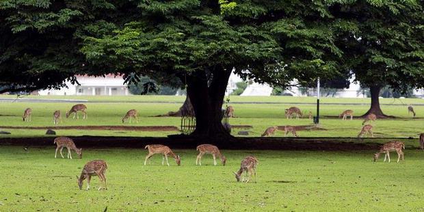 Bakalan Ada Rusa Tutul Istana Bogor Di Hutan Kalsel