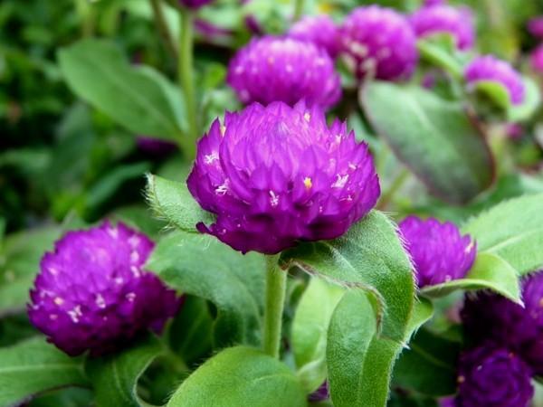 11 Manfaat Bunga Ratna Atau Kenop Untuk Kesehatan