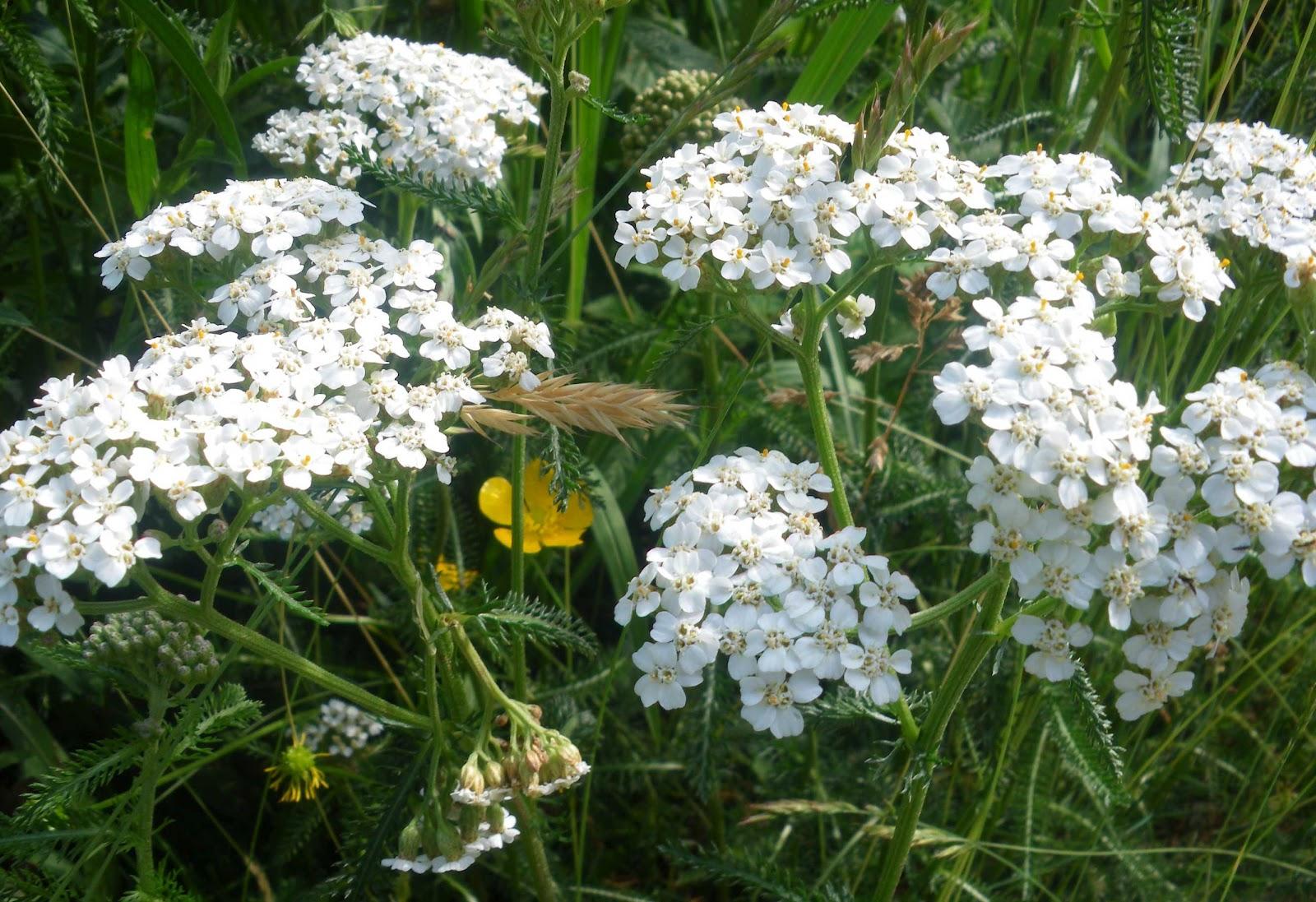 Flores Silvestres Del Pirineo Flores De Prado